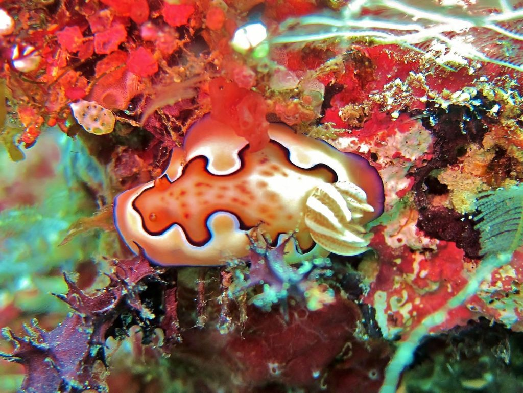 Denea Solomons nudibranch