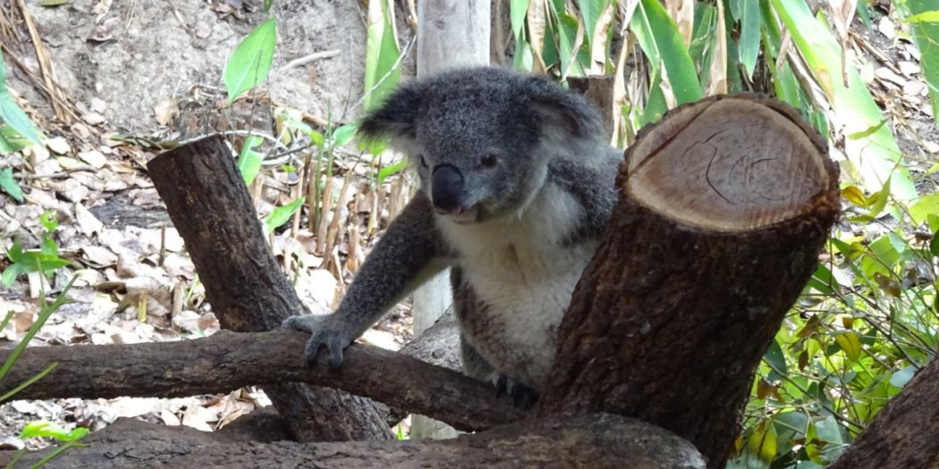 koala in a tree at kuranda koala gardens