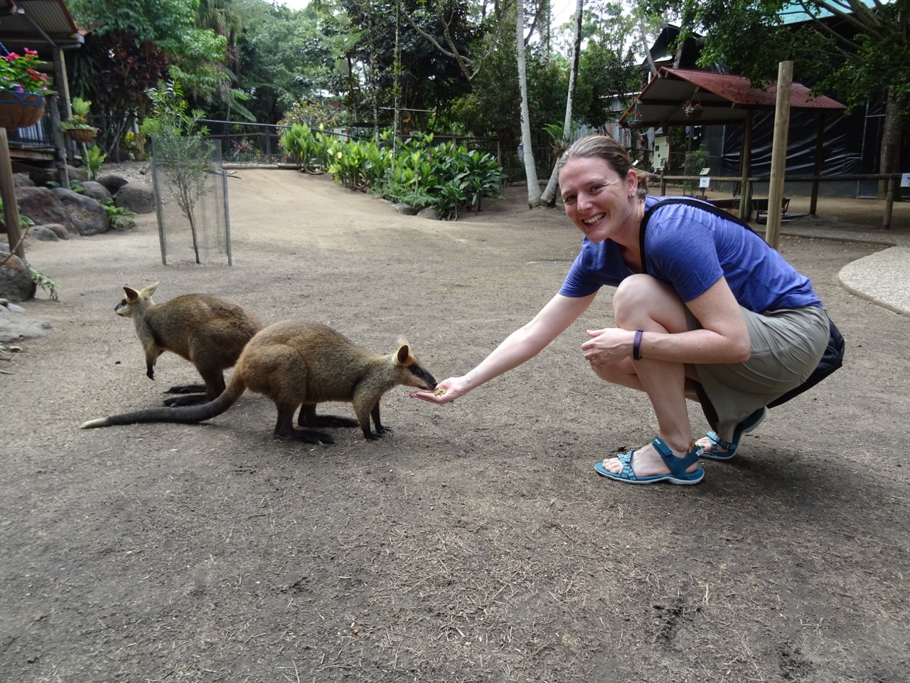 hand feeding wallabies at kuranda koala gardens