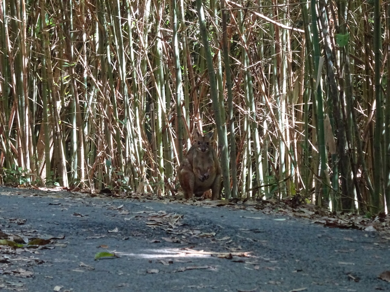wallaby in the mount whitfield conservation park