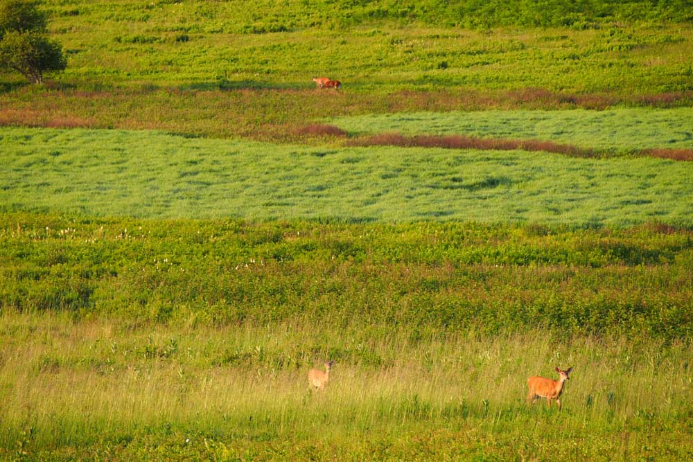 Deer in Big Meadows