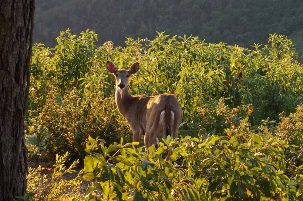 Deer in Shenandoah National Park