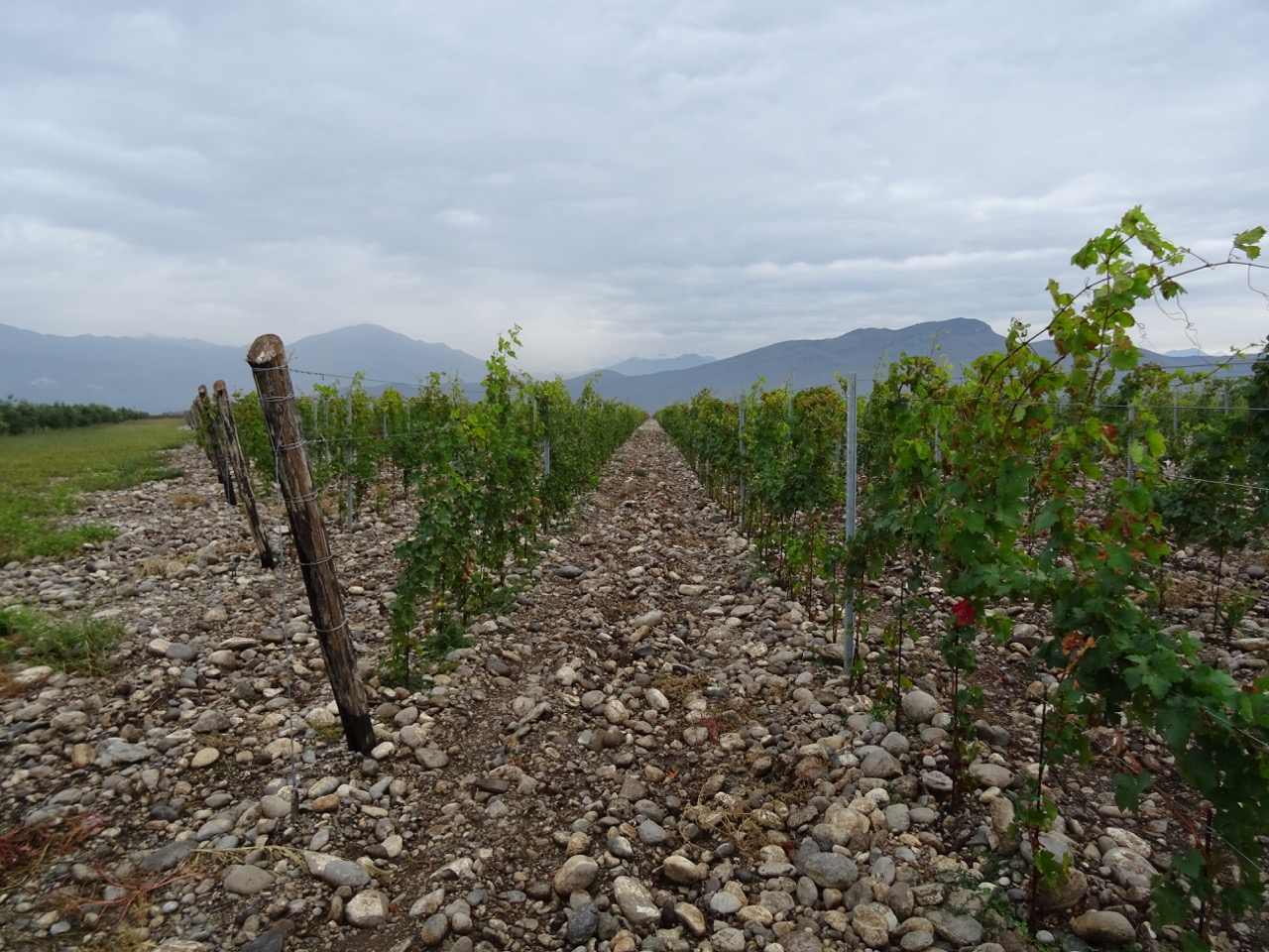 The Plantaze vineyard near Podgorica